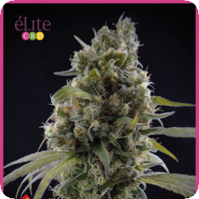 Solodiol CBD Feminised Seeds