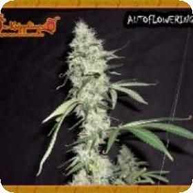 Sonic Bloom Auto Feminised Seeds