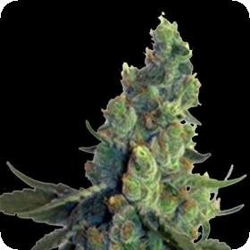 Sour Chelumbian Regular Seeds
