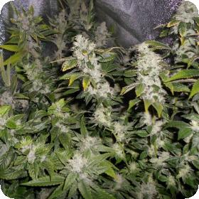 Sour Walker Feminised Seeds