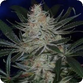 Jack the Ripper Regular Seeds