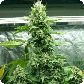 Tre Banana Dawg Feminised Seeds