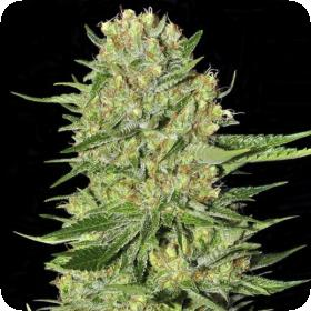 Veneno Feminised Seeds