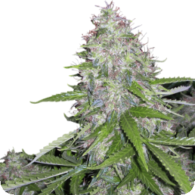 White Dwarf Auto Regular Seeds
