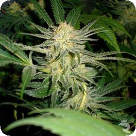 White  Widow  Medical  Cannabis  Seeds  Jpg