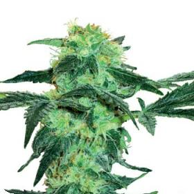 White Ice Feminised Seeds