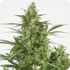 Critical + 2.0 Auto Feminised Seeds