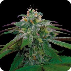 X18 Pure Pakistani Regular Seeds