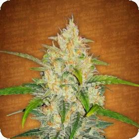 Zkittlez  Auto  Feminised  Cannabis  Seeds  Fastbuds  Cannabis  Seeds 0