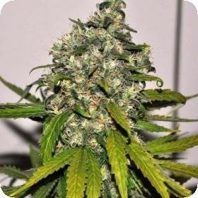7043  Ak  Auto  Blimburn  Cannabis  Seeds