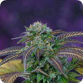 Alchemy  Regular  Cannabis  Seeds