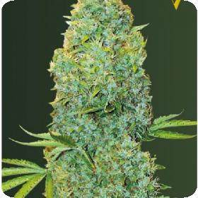 Amnesia  Haze  Auto  Feminised  Cannabis  Seeds 0