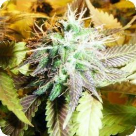 Aurora  Indica  Feminised  Cannabis  Seeds