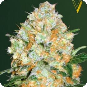 Bubblegum  P R O  Auto  Feminised  Cannabis  Seeds