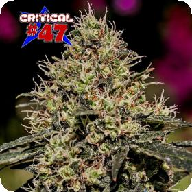 Critical 47  Feminised  Cannabis  Seeds