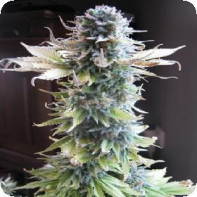 Early  Skunk  Feminised  Cannabis  Seeds