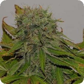 Mama  Mia  Feminised  Cannabis  Seeds