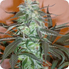 Mango  Feminised  Cannabis  Seeds