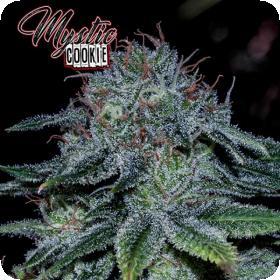 Mystic  Cookie  Feminised  Cannabis  Seeds