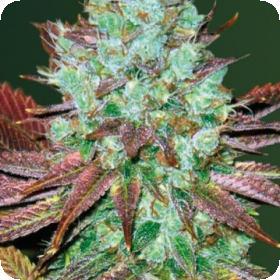 N H L  Diesel  Auto  Feminised  Cannabis  Seeds