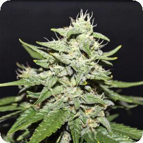 Sour  Crack  A U T O  Feminised Cannabis  Seeds