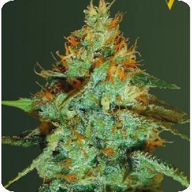 Super  Extra  Skunk  Auto  Feminised  Cannabis  Seeds