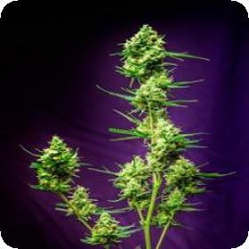 T G A  Subcool  Genetics  Nurse  Jackie  Regular  Cannabis  Seeds