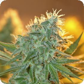 Jean  Guy  Feminised  Cannabis  Seeds