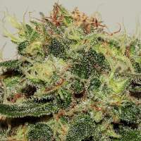 Critical Mass CBD Feminised Seeds