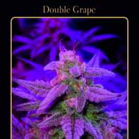 Double Grape Auto Feminised Seeds