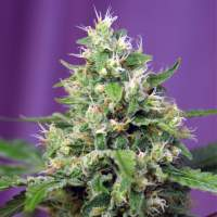 Blow Mind Auto Feminised Seeds