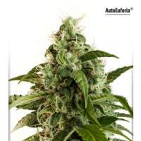 Euforia Auto Feminised Seeds