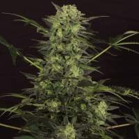 MK-Ultra Kush Auto Feminised Seeds