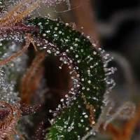 The Void (AKA Purple Apollo) Regular Seeds