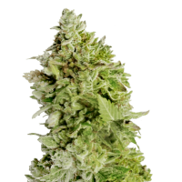 Beast Mode Auto Feminised Seeds