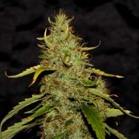 PH CBD Regular Seeds