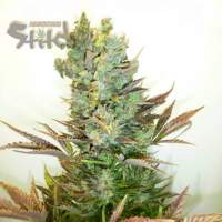 Stitch's Love Potion Auto Regular Seeds