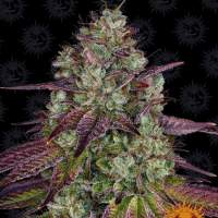 Mimosa EVO Feminised Seeds