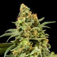 Peaches 'n' Cheese Feminised Seeds