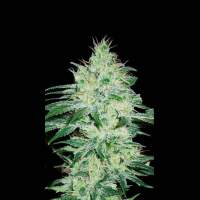 Orient Auto Feminised Seeds