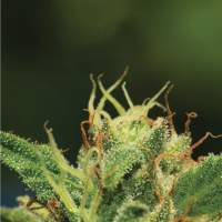 Humboldt Sour Diesel Regular Seeds