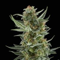 Royal Dwarf Auto Feminised Seeds