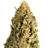 Mega CBD Feminised Seeds