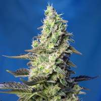 Green Poison XL Auto Feminised Seeds