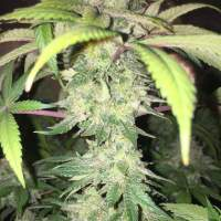 Yummy CBD Feminised Seeds