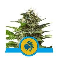 Tatanka Pure CBD Feminised Seeds