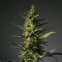Candida (CD - 1) Feminised Seeds