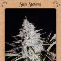 Sour Stomper Auto Feminised Seeds