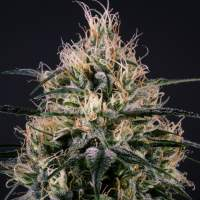 Green Doctor (GD - 1) Feminised Seeds