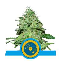 Joanne's CBD Feminised Seeds